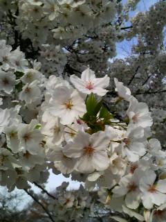桜―花冷え